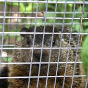 lahara-ground-hog-trapped