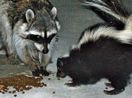 lahara-raccoon-skunk
